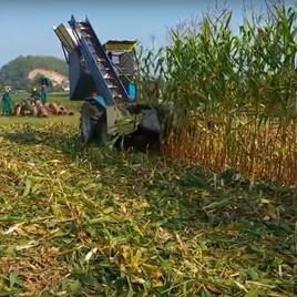 Máy thu hoạch ngô (4 hàng)