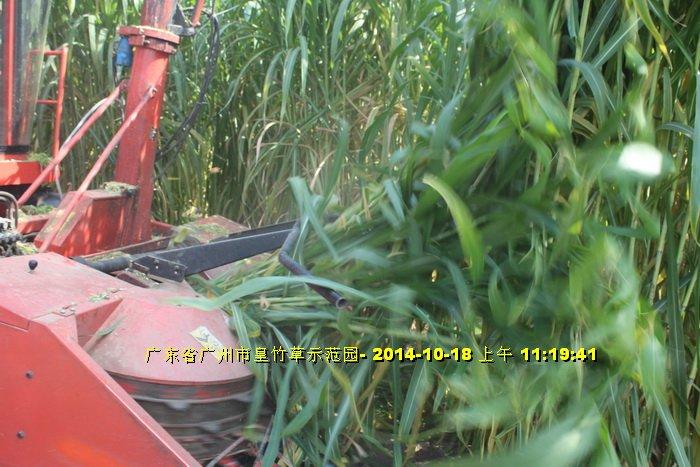 Máy cắt cỏ voi chuyên dụng OKASU hinh anh 7