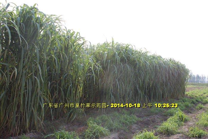 Máy cắt cỏ voi chuyên dụng OKASU hinh anh 9